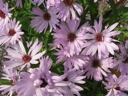 Aster dumosus 'Chatterbox'